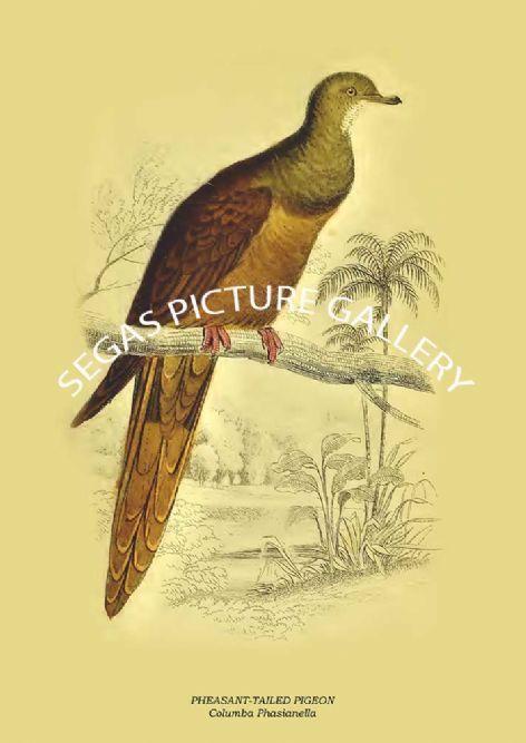 Fine art print of the PHEASANT-TAILED PIGEON - Columba Phasianella by the artist Prideaux John Selby (1845-46)